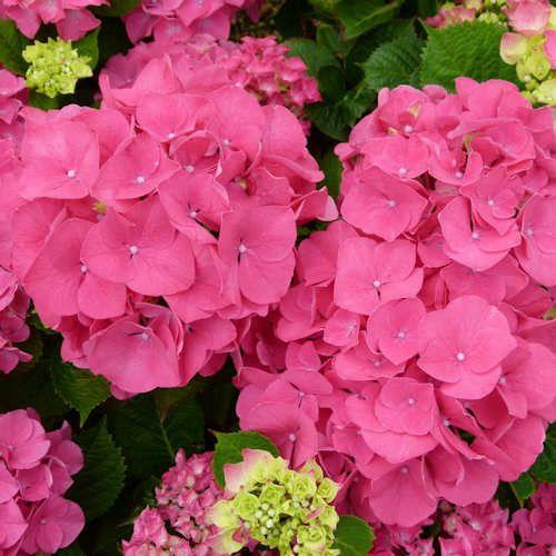 Les 20 meilleures images du tableau hortensia plantes sur for Achat plante sur internet