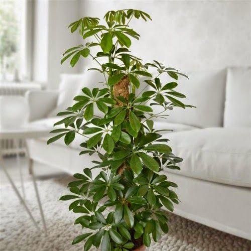Комнатное растение Шеффлера - уход в домашних условиях http://www.myflora.com.ua/index.php?option=com_content&task=view&id=592&Itemid=1