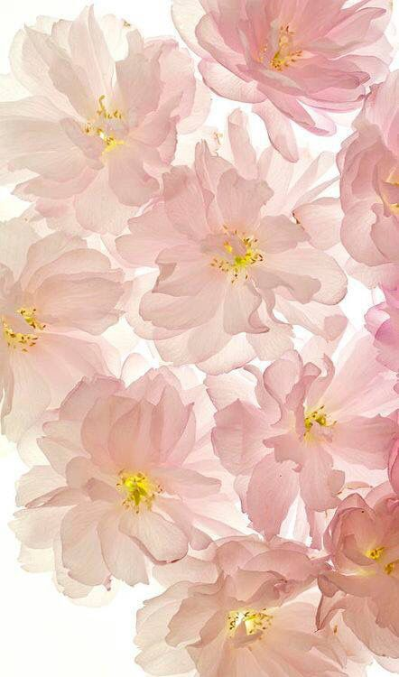 Flowers Peonies Pinterest Beautiful Helpful Hints