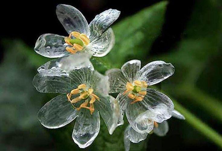 水に触れると白い花びらが透明になる美しい花の紹介。http://bit.ly/1V8tus7 名前はサンカヨウで、日本北部の山間部や米国アパラチア山脈などのやや湿った場所に分布。雨や朝露で透明になる。via @boredpanda