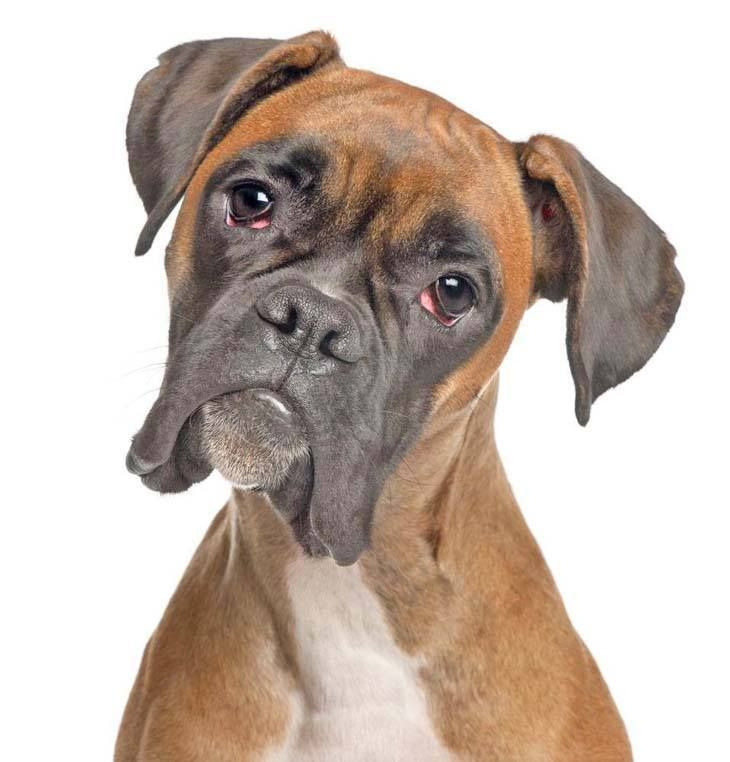 Boxer Cinsi Köpek Özellikleri ve Bakımı