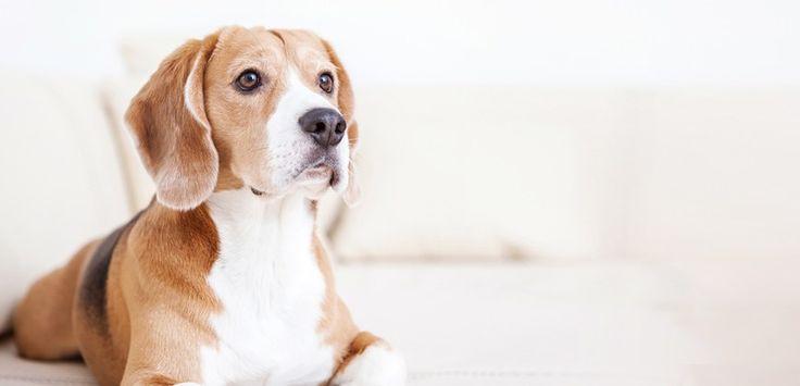 Fabbisogno energetico del cane - http://elicats.com/fabbisogno-energetico-del-cane/ Il corretto fabbisogno energetico del cane, varia in base all'età, attività fisica, razza e malattie in corso. Fabbisogno energetico del cane Età del cane Un fattore molto importante che influenza la quantità giornaliera di cibo, è l'età del cane; un cucciolo ha diverse esigenze nutrizionali r...