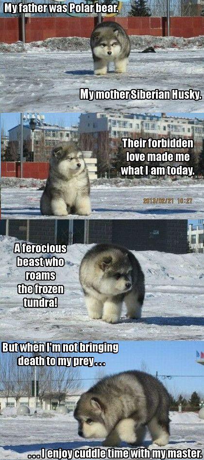 A polar husky or a pusky as I like to call it. Awwwwww