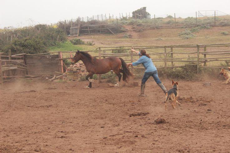Previo a ensillar uno de los caballos