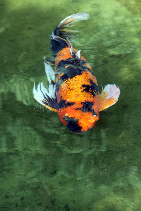 Koi Orange Black And White Japanese Koi Fish Sponsored Advertisement Advertisement Orange Fish Japanese Koi In 2020 Koi Japanese Koi Koi Fish
