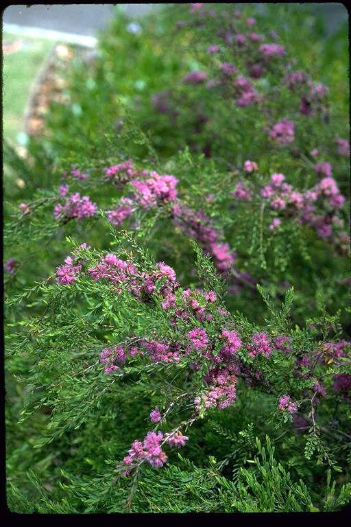 Melaleuca thymifolia - Australiannative