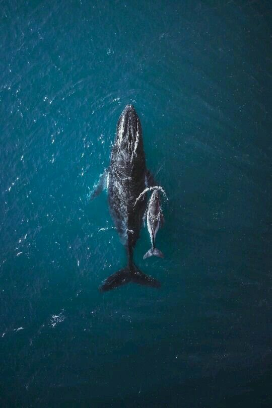 Whale - Mama & Baby #love #animals