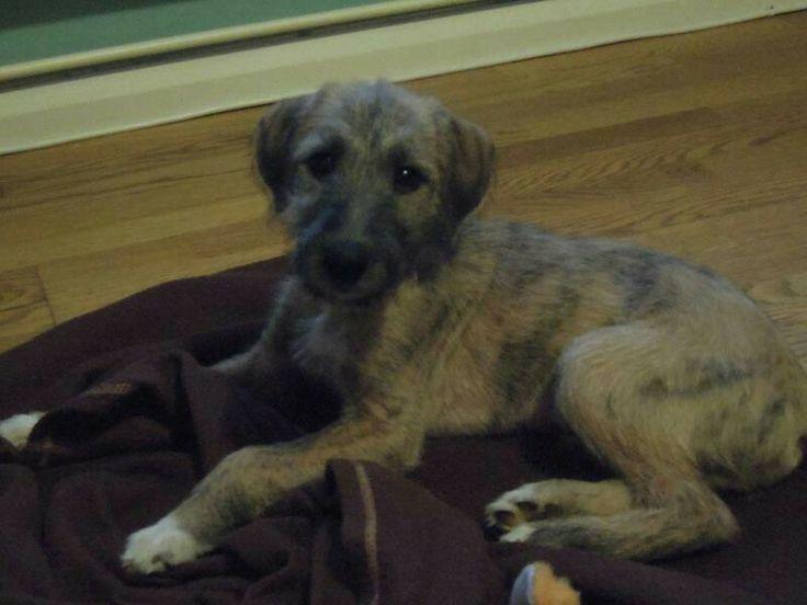 Beautiful sidney - bedlington whippet lurcher puppy