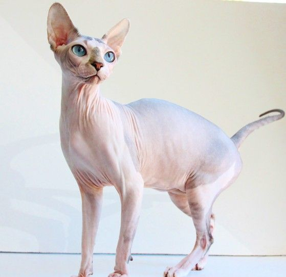 """Sphynx kittens for sale Sphynx cats for sale naked cats for sale naked cats, NADA Sphynx, Devon Rex, Lykoi, Cats sphynx, sphinx, esfinge, sphynx cats for sale, hairless cats for sale, sphynx kittens, sphynx breeders, sphynx for sale, sphynx kittens for sale, sphynx cat breeders, hairless cat breeders, hairless cat adoption, sphynx cat adoption, buy hairless cat, sphynx Florida, sphynx ontario, canadian sphynx, curly coated, werewolf, <meta name=""""msvalidate.01""""…"""