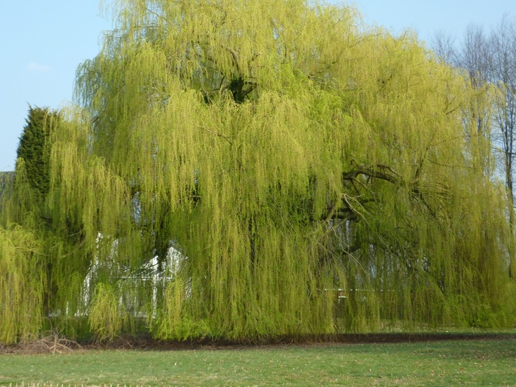 46 Best Treurwilg Images On Pinterest Weeping Willow