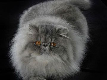 gatto persiano blu  - Cerca con Google