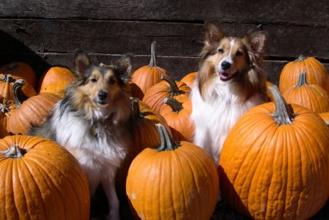 Two border collies in a pumpkin patch