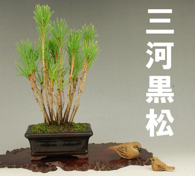 Black Pine trees  三河黒松 -寄植- 【小品盆栽】【松柏盆栽】【いよじ園 伊予路園】
