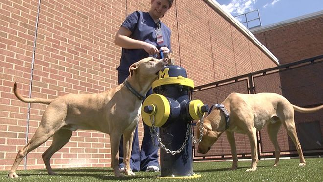 Dog relief area at Ohio State Veterinary School features Michigan color scheme.