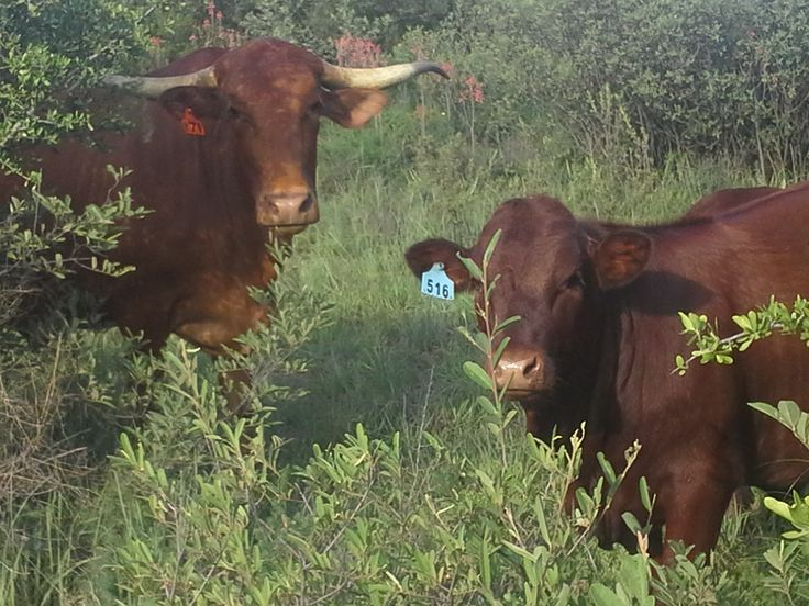 Afrikaners met Sussex kalwers/ Afrikaners with Sussex calves Nico Bouwer, Witkwas Sussex