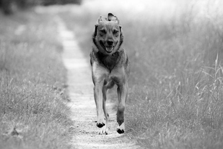 Black and white - running german shephard