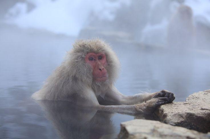 O macaco-japonês (ou macaco das neves/imagem acima), do norte do Japão, tem pelos bastante grossos e seu habitat é composto de nascentes de água quente para mantê-los aquecidos. Esses pelos tem duas camadas isolantes, fator que permite que o animal saia de uma fonte de água quente e caminhe na neve sem sofrer hipotermia. http://www.megacurioso.com.br/animais/48016-12-fatos-interessantes-sobre-os-primatas.htm?utm_source=plus.google.com