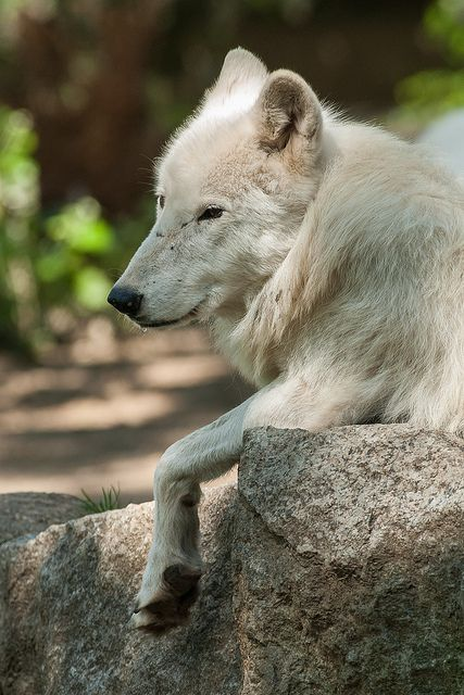 Arctic Wolf, Zoo Berlin | en.wikipedia.org/wiki/Arctic_Wolf … | Flickr