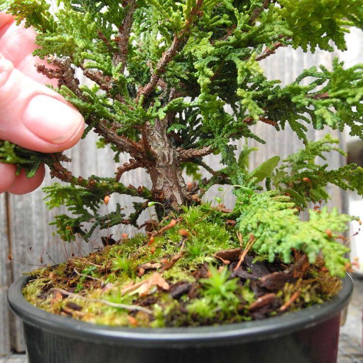 Bonsai Starter Tree Set Of 3 For Bonsai Or Miniature Or Fairy Gardening,  True Mini