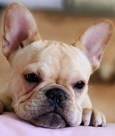 Temperament and Personality of French Bulldog Click the picture to read