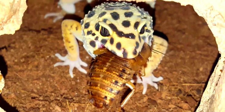 Feeding Dubia roaches to Leopard geckos Dubia roaches, also called Dubias (Blaptica dubia) is a healthy well balanced foodstuff for pet Leopard geckos and other insectivorous lizards. http://www.leopardgeckos.co.za/feeding-dubia-roaches-to-leopard-geckos/