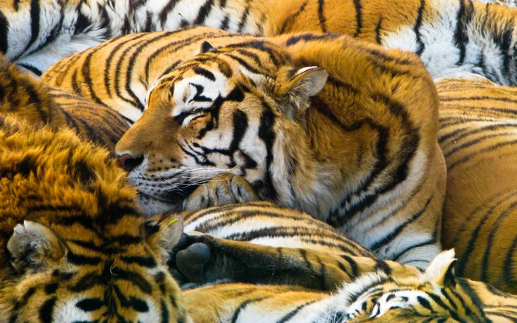 Click here to download in HD Format >>       Sleeping Tigers Wallpapers    http://www.superwallpapers.in/wallpaper/sleeping-tigers-wallpapers.html
