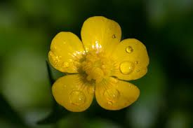 What's Up Buttercup - For Our Horses??? Spring has brought the arrival of those pretty little yellow Buttercups. Learn more about the hows and whys of Buttercup poisoning to keep your horses and animal companions safe.