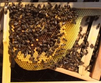 Girls building their own comb. What a site. #naturalbeekeeping #rawhoney