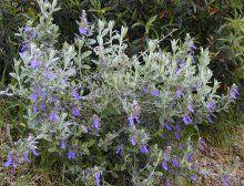Αειθαλείς θάμνοι | Φυτώρια Αττικής, Αθήνα | Γεωπονικές επιχειρήσεις Χορομίδης