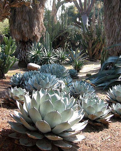 Agave Parryi - Huntington Gardens