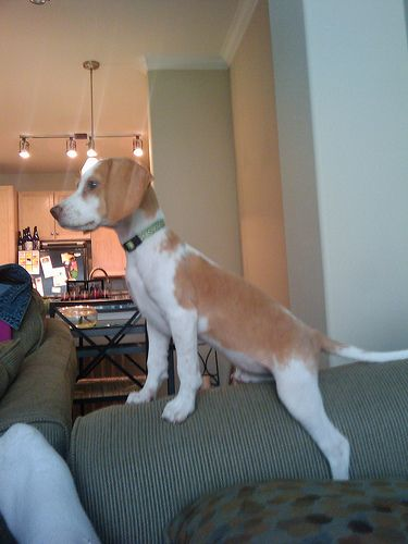 lemon beagle puppy seems very interested in something -- knowing beagles, it's probably food