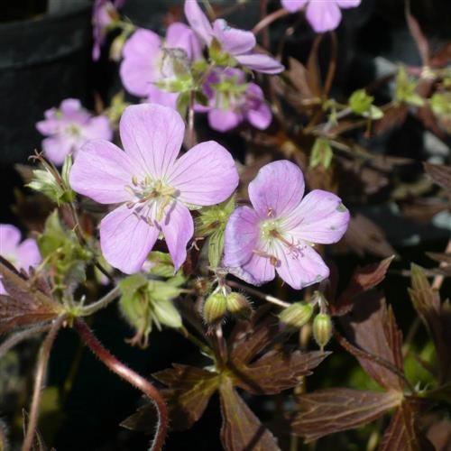 Les 210 meilleures images du tableau Geraniums vivaces - hardy ...