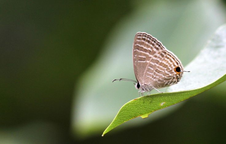 Common Cerulean by Saikanth Dacha on 500px