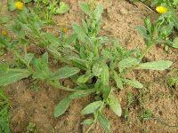 Καλέντουλα-Calendula officinalis Οικογένεια: Αστεροειδών-Asteraceae