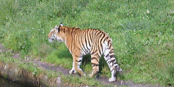 Cerita Kancil Menipu Harimau. Tidak terasa perutnya kembali terasa lapar karena terus berlari selepas menyeberangi sungai, takut dikejar para buaya. Setelah rasa lelahnya sedikit hilang, dia kemudian berjalan-jalan di tengah hutan untuk mencari makan. Pada saat itu tiba-tiba muncul seekor harimau lapar menghadangnya.
