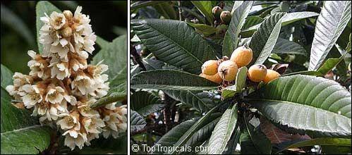 цветение и плодоношение мушмулы