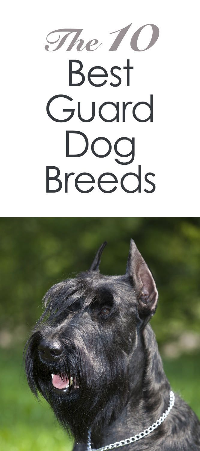 """The 10 Best Guard Dog Breeds http://iheartdogs.com/the-10-best-guard-dog-breeds/ From your friends at phoenix dog in home dog training""""k9katelynn"""" see more about Scottsdale dog training at k9katelynn.com! Pinterest with over 18,000 followers! Google plus with over 119,000 views! You tube with over 350 videos and 50,000 views!! Twitter 2200 plus;)"""
