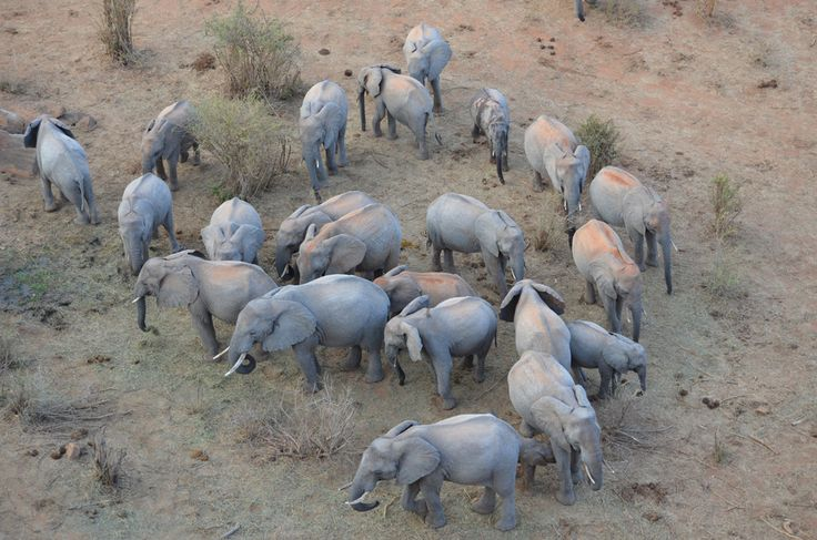 Older Ithumba orphans return to the stockades with some