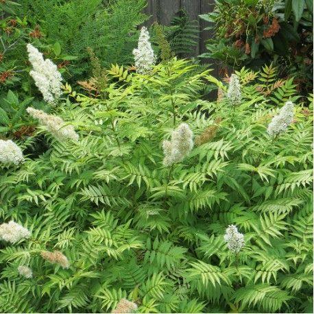 SORBARIA sorbifolia Sem (Sorbaire à feuilles de sorbier ou Fausse spirée Sem)