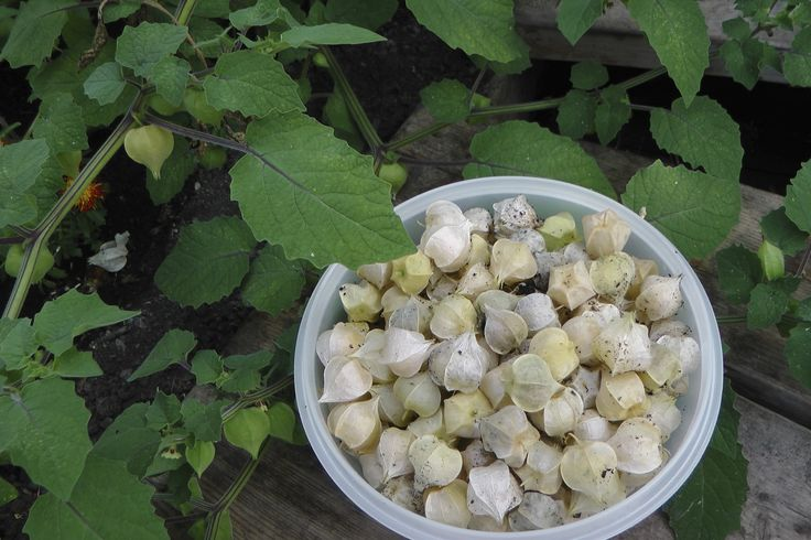 How To Grow and Use Ground Cherries Northern Homestead