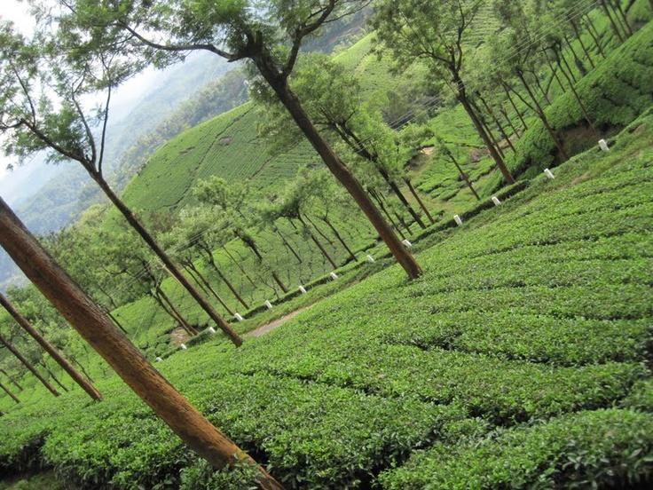 Tea Gardens, Munnar, Kerala