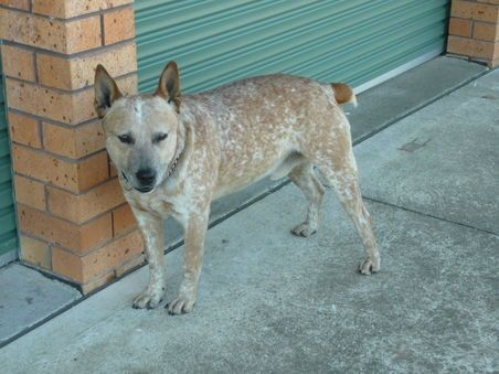 Stumpy Tail Australian Cattle Dog | PURE BREED STUMPY TAIL, Australian Cattle Dog for Sale - Australia for ...