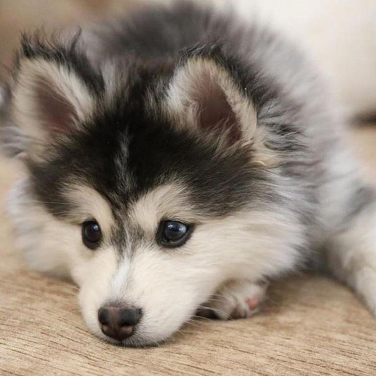 Baby husky Dogs Pinterest Baby huskies, Animal and Dog