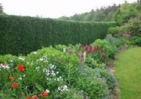 Leylandii hedging - available now from http://www.hedgesonline.com