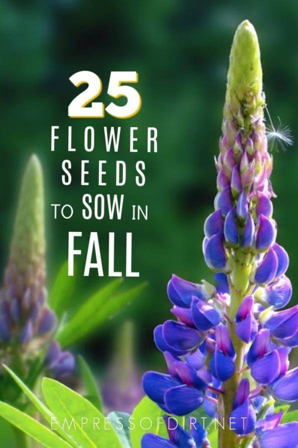 25 Flower Seeds To Sow In Fall Perennials Biennials Natives
