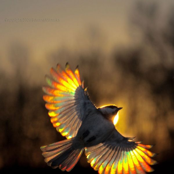 Carolina chickadee flying at sunset, by Edward Mistarka- Looks like a Mockingjay to me!!