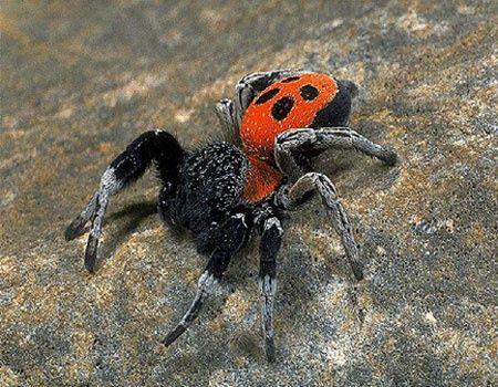 Ladybird Spider (Eresus cinnaberinus) - Eresus ...