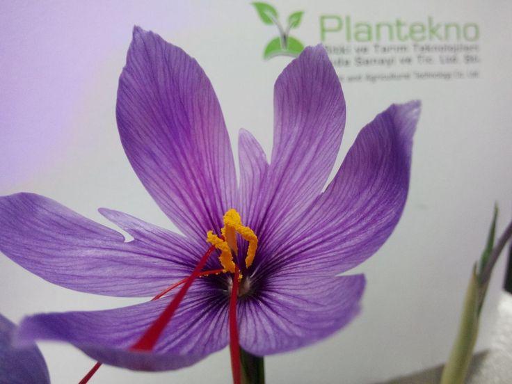 Saffron Flower in Plantekno Lab. http://plantekno.com