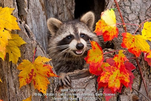 Raccoon (Procyon lotor) in hole in tree with fall color, Pine County, MN