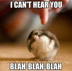 hamster species - Google Search